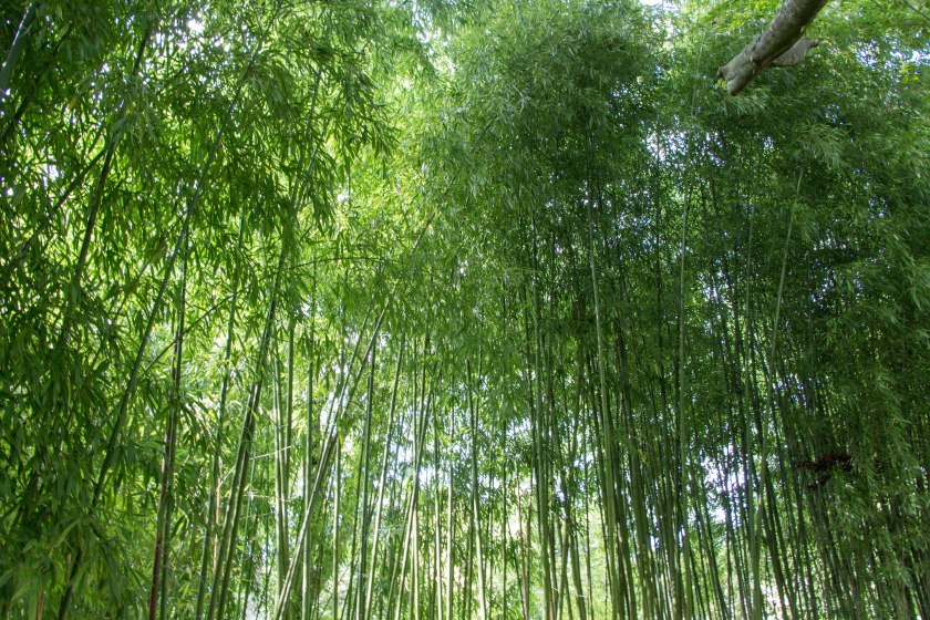 Bamboo grove at the entrance to the water lily pond.