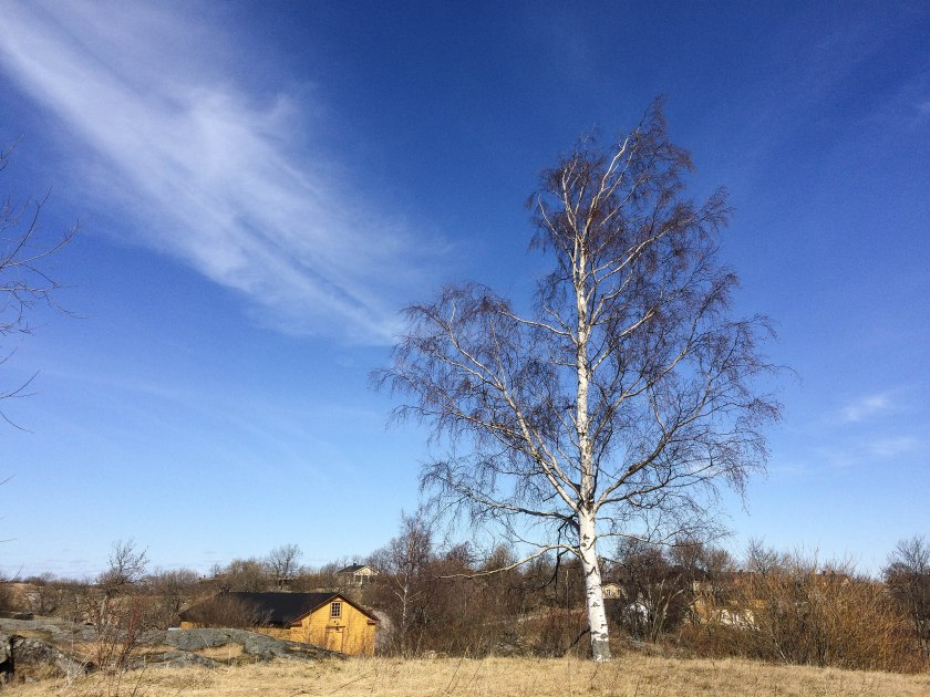 blue skies and birch tree on suomenlinna