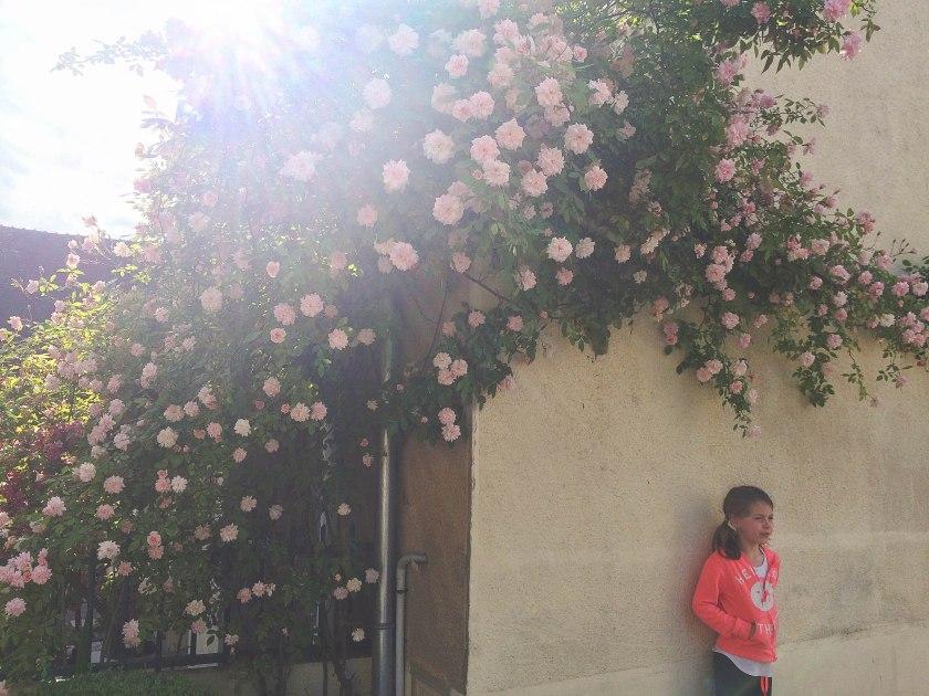 dani pink roses